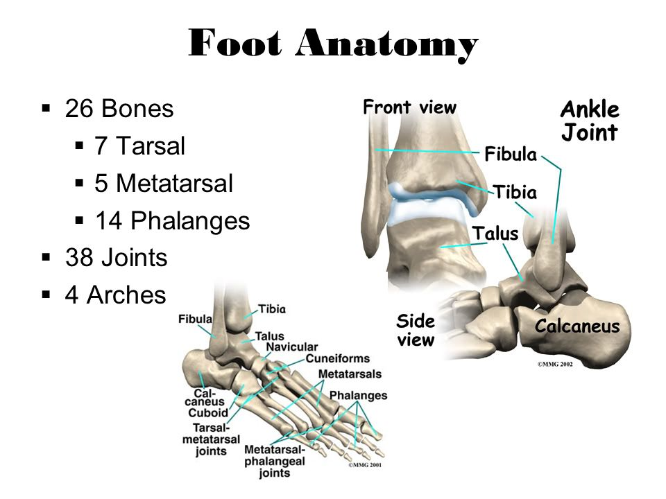 The Foot Chapter Ppt Video Online Download