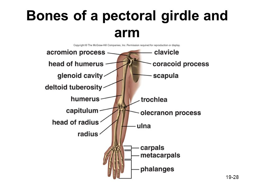 Chapter 19 Musculoskeletal System Ppt Video Online Download