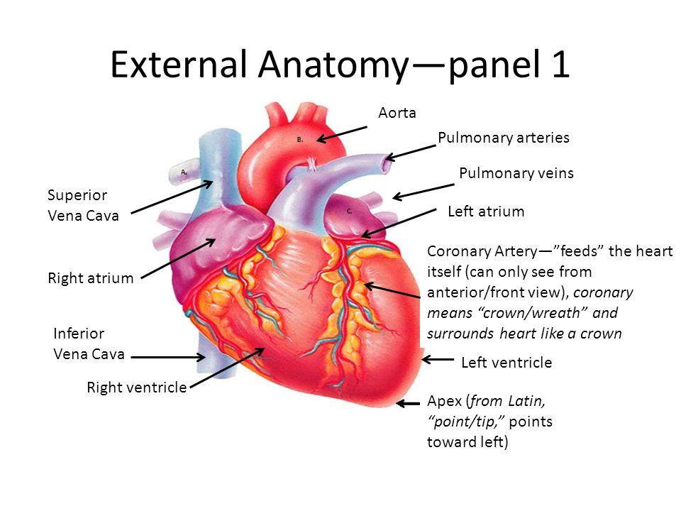 Heart Anatomy By Heidi Hisrich Ppt Video Online Download