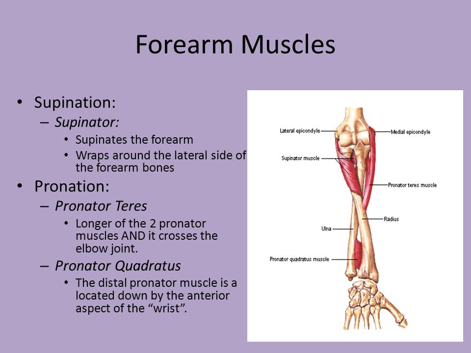 Muscles of the Hand, Wrist and Forearm - ppt video online download