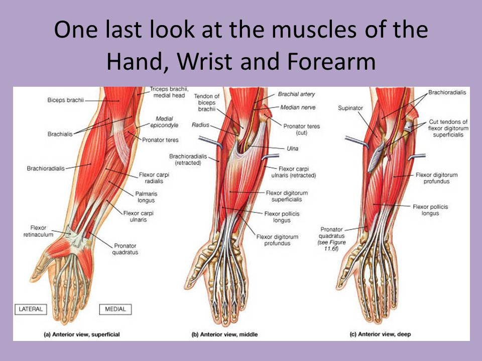 Muscle Of Hand Wrist Preeminent Photo Image With Muscle Of Hand ...