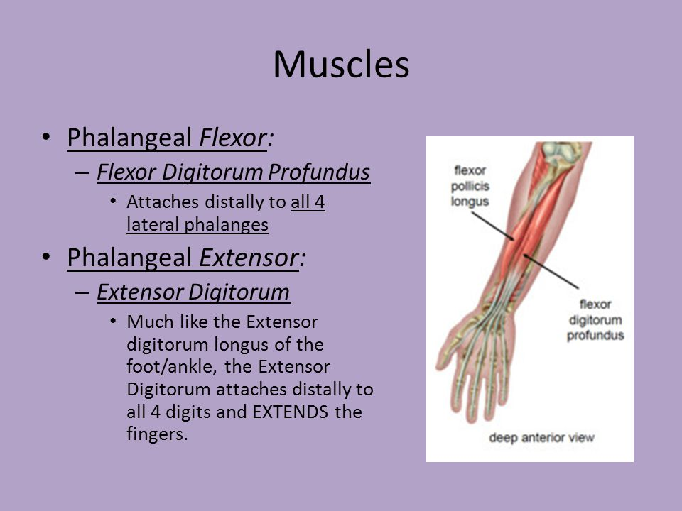 Muscles Of The Hand Wrist And Forearm Ppt Video Online Download