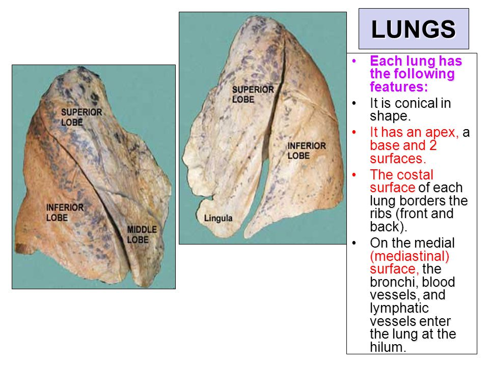 LUNGS Each lung has the following features: It is conical in shape.
