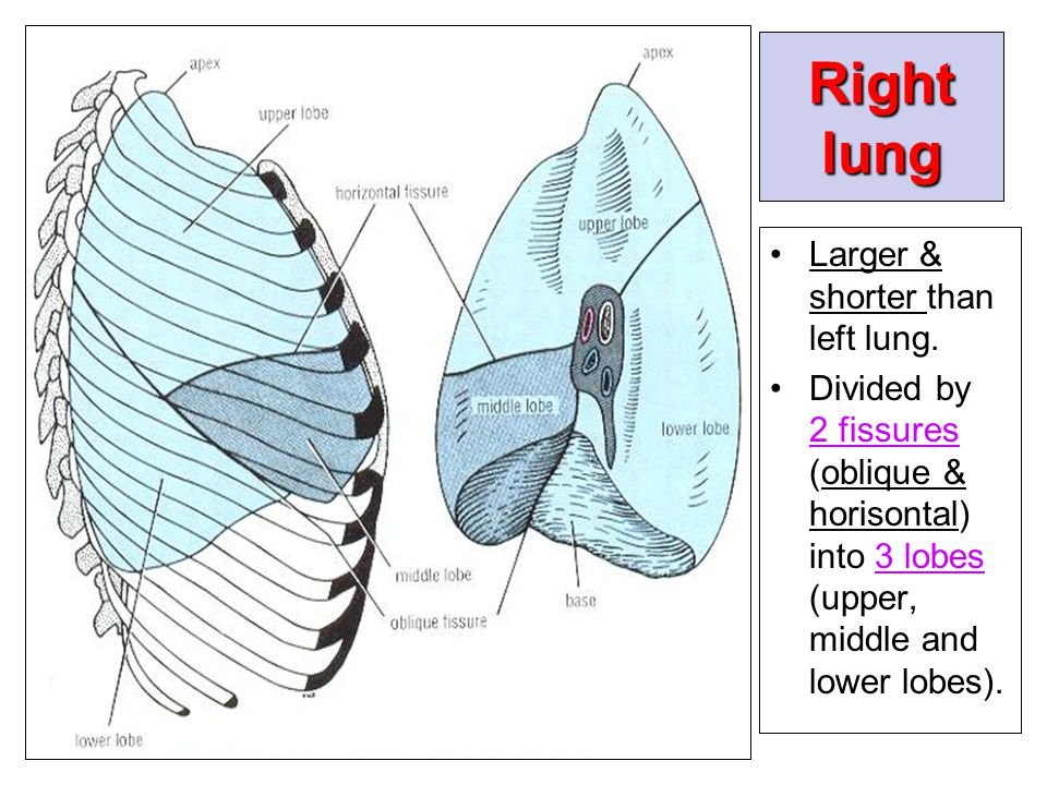 Right lung Larger & shorter than left lung.