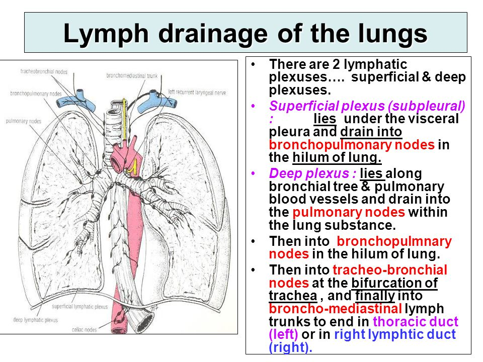 Lymph drainage of the lungs