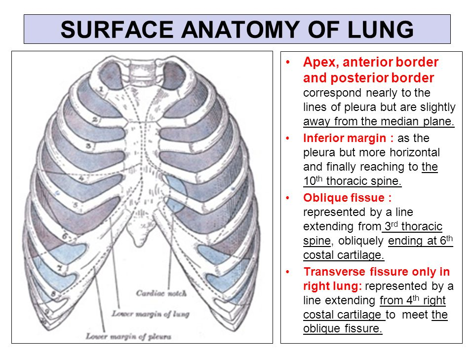 Attractive Surface Anatomy Of Lungs Composition Anatomy And