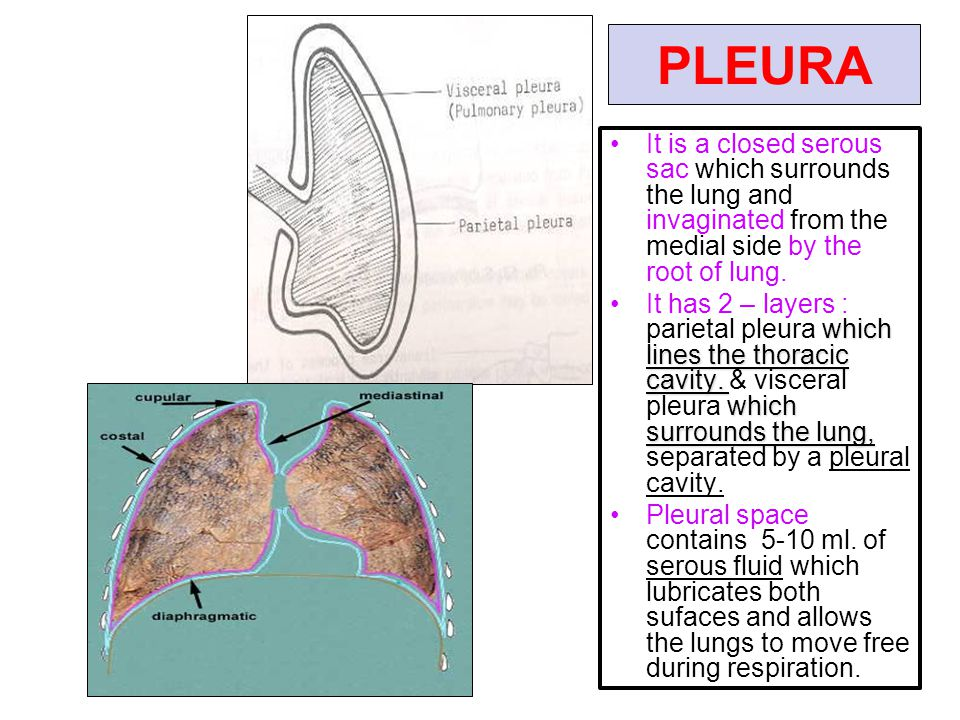 PLEURA It is a closed serous sac which surrounds the lung and invaginated from the medial side by the root of lung.