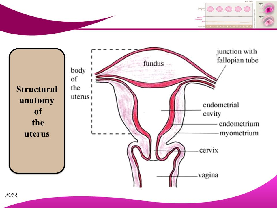 Anatomy And Physiology Of The Female Genital System - ppt video ...