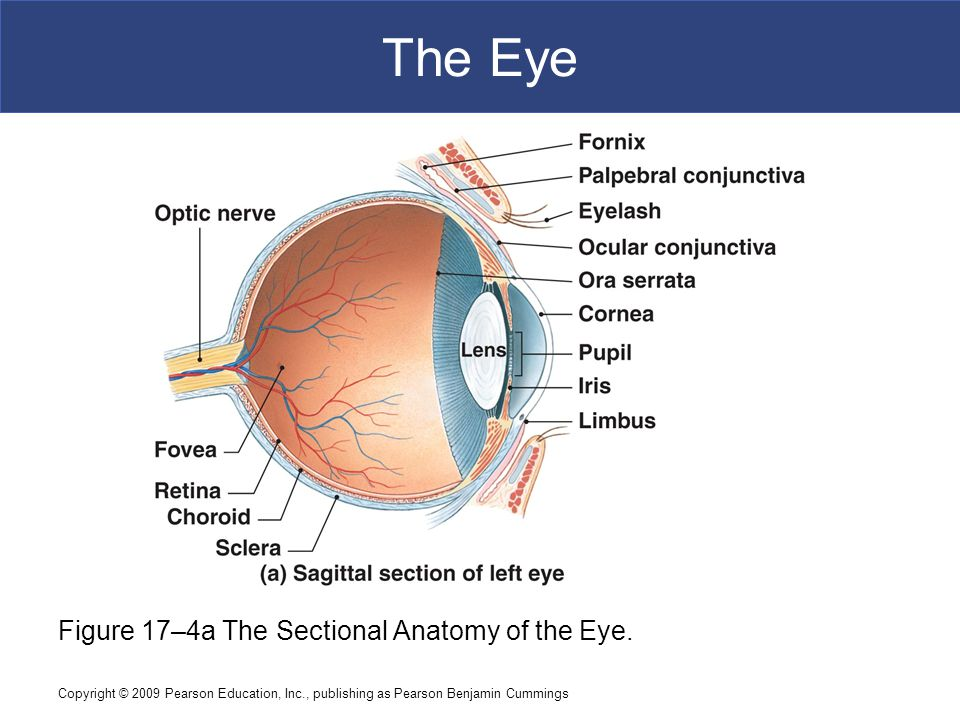 The Eye Figure 17–4a The Sectional Anatomy of the Eye.