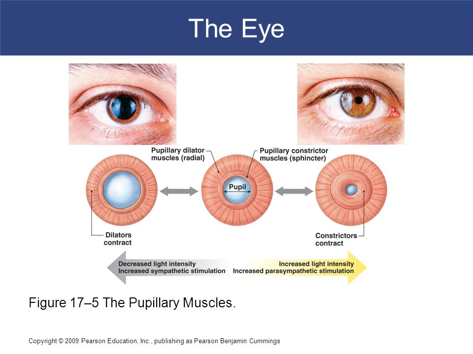 The Eye Figure 17–5 The Pupillary Muscles.