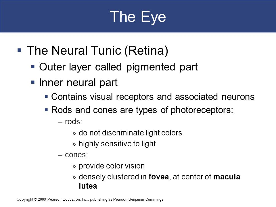 The Eye The Neural Tunic (Retina) Outer layer called pigmented part