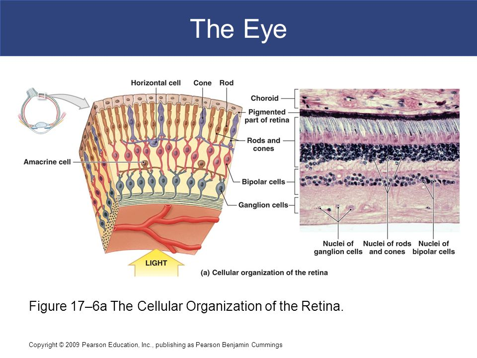 The Eye Figure 17–6a The Cellular Organization of the Retina.
