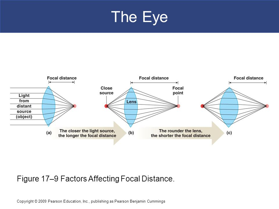 The Eye Figure 17–9 Factors Affecting Focal Distance.