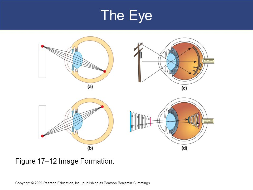 The Eye Figure 17–12 Image Formation.