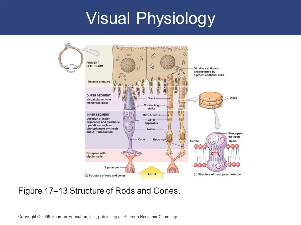 Visual Physiology Figure 17–13 Structure of Rods and Cones.