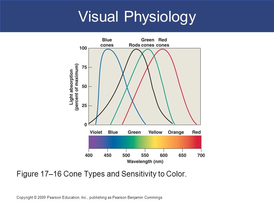 Visual Physiology Figure 17–16 Cone Types and Sensitivity to Color.