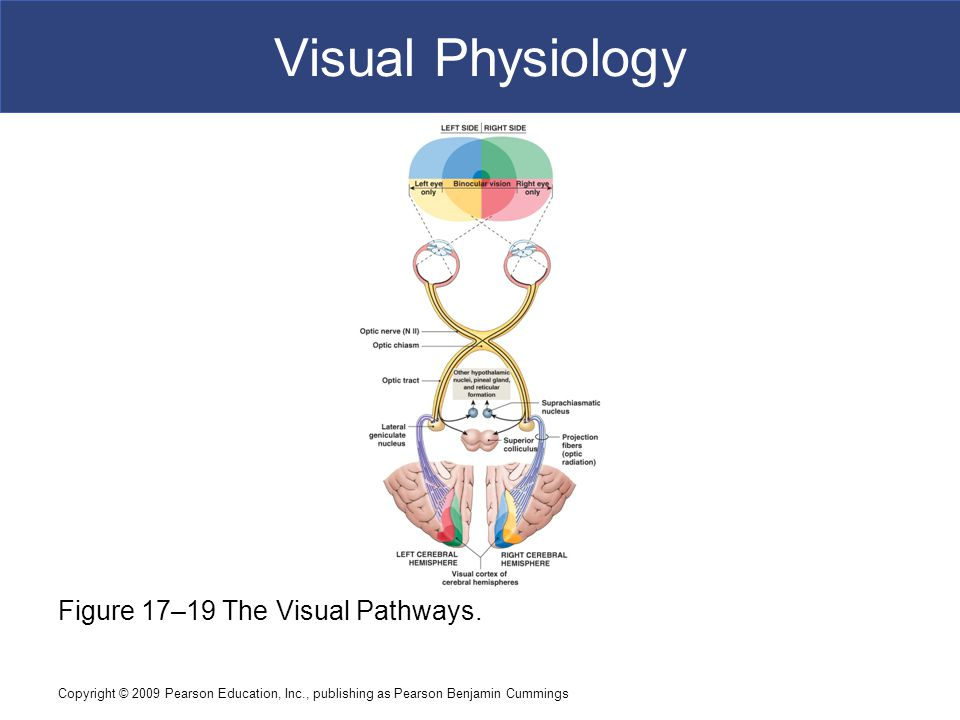 Visual Physiology Figure 17–19 The Visual Pathways.