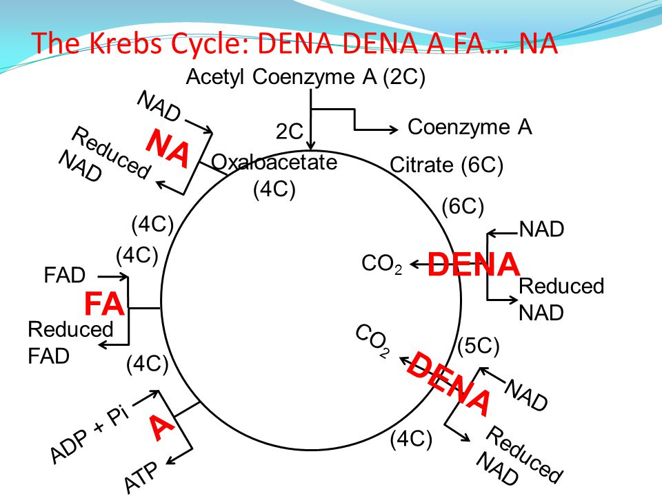 42 Link Reaction And Krebs Cycle Ppt Video Online Download