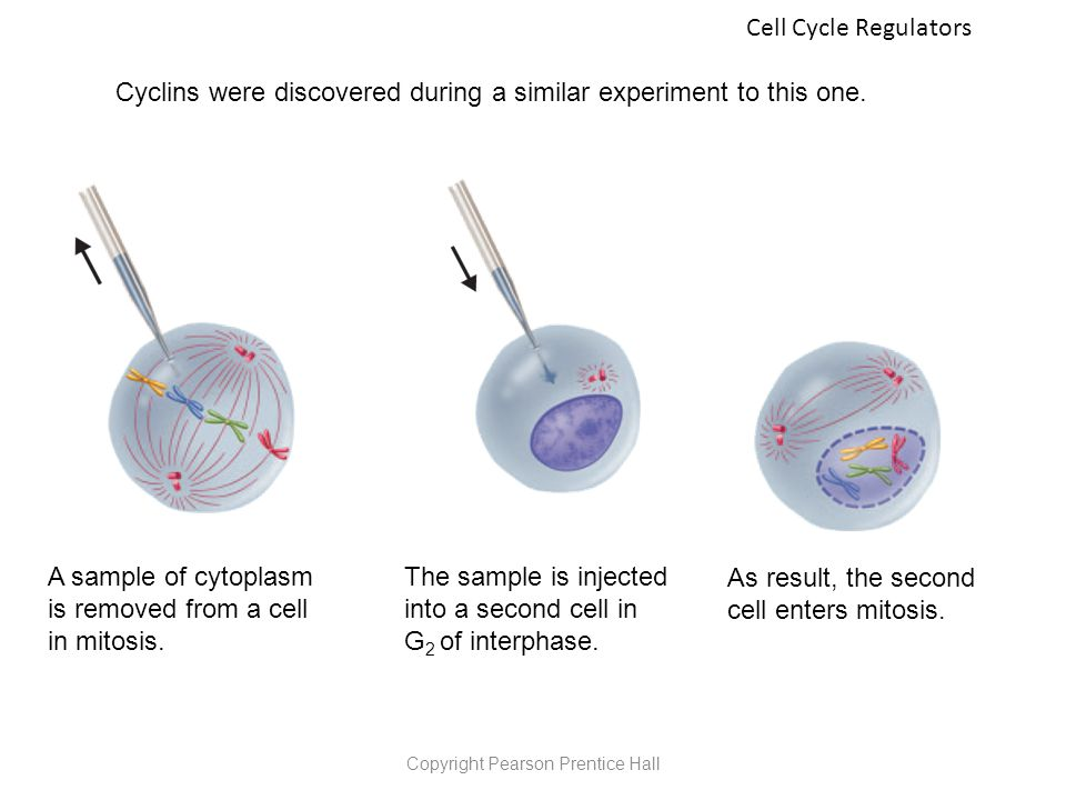 Mitosis diagram prentice hall free car wiring diagrams copyright pearson prentice hall ppt video online download rh slideplayer com chromosome diagram blank mitosis diagram ccuart Gallery