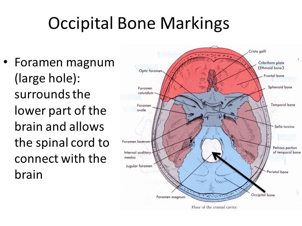 Skeleton Bones Markings Diagram Electrical Work Wiring Diagram