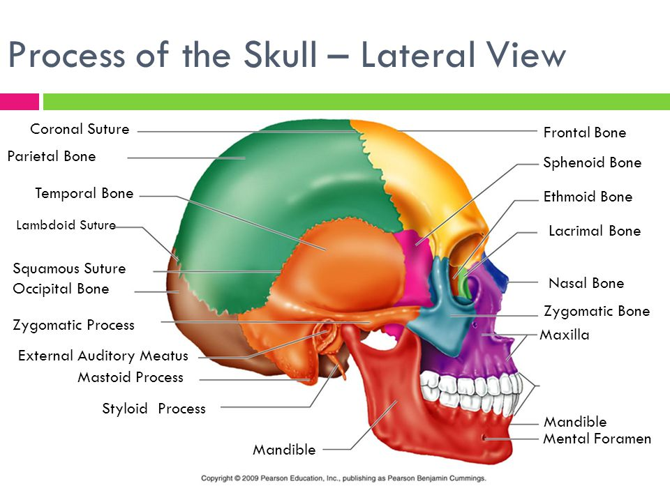 The Skeletal System Focus On The Skull Ppt Video Online Download