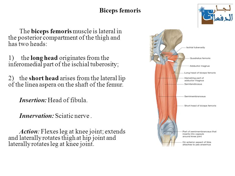 The Thigh Muscles Lecture Ppt Download