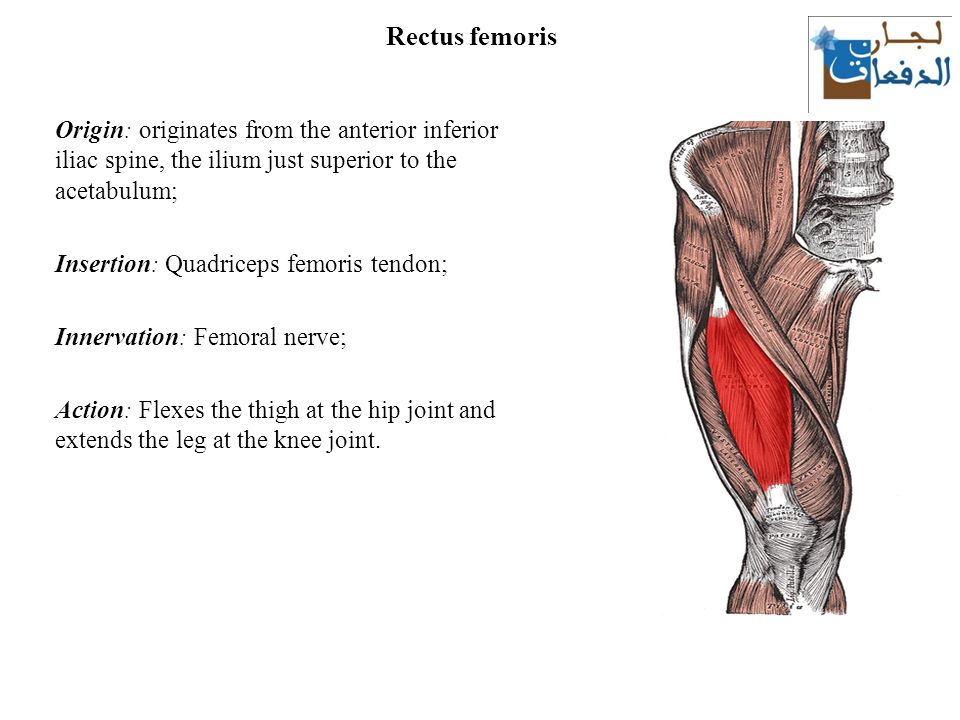 The thigh: muscles Lecture ppt download