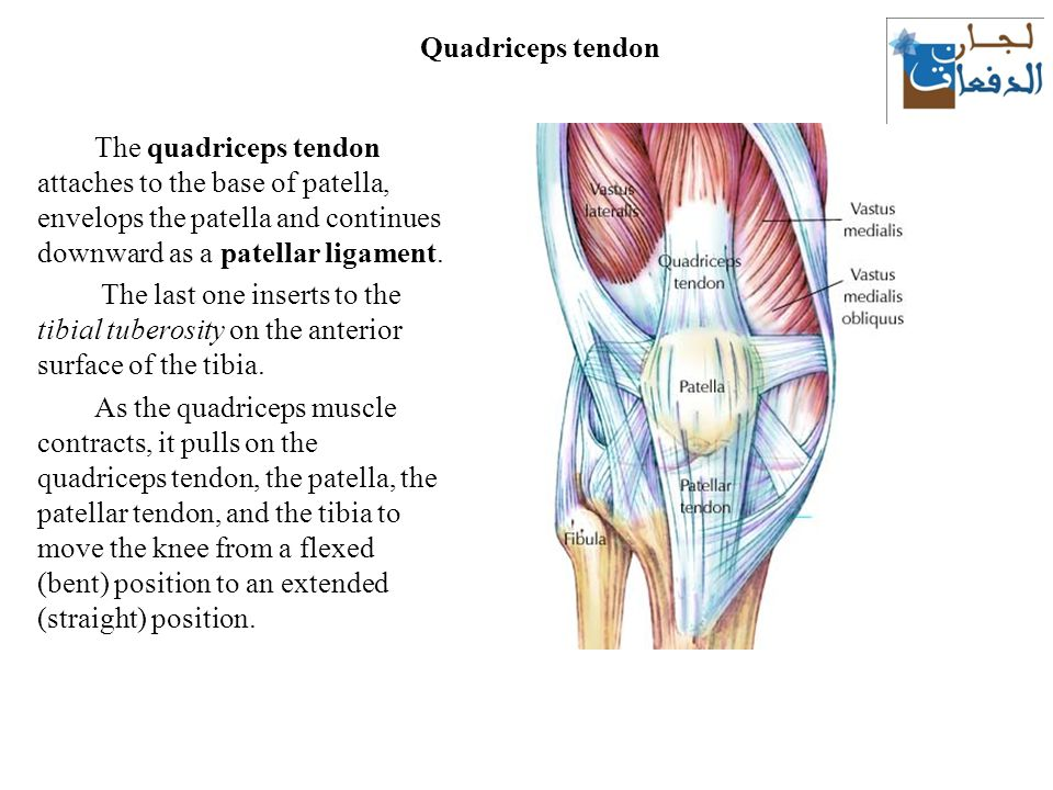 The thigh muscles lecture ppt download 7 quadriceps tendon ccuart Images
