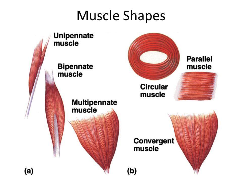 Diagram Skeletal Muscle Shapes House Wiring Diagram Symbols
