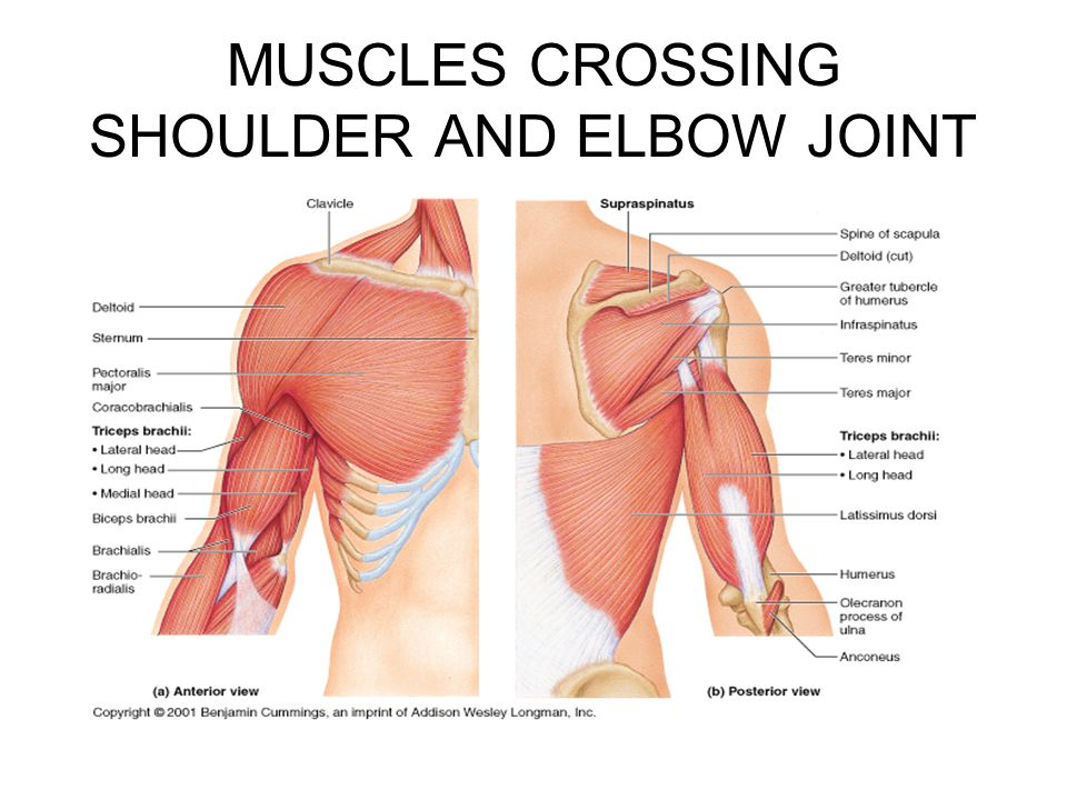 UPPER EXTREMITY BONES , MUSCLES - ppt video online download