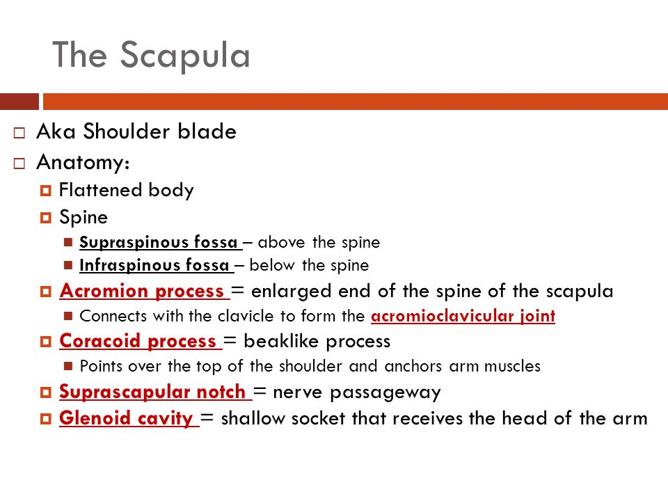 Focus On The Pectoral Girdle Ppt Video Online Download