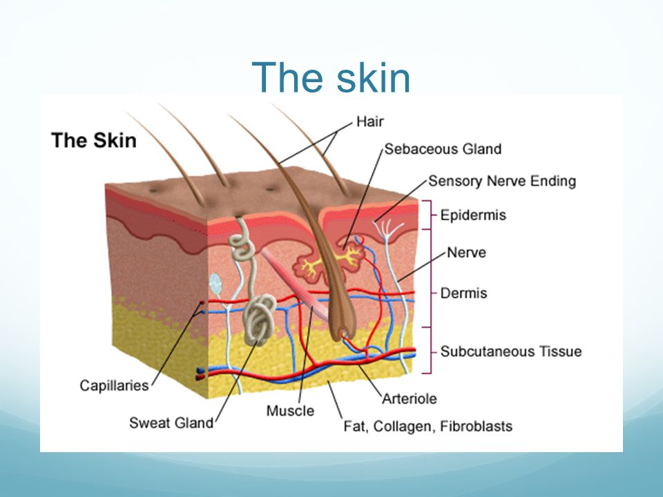 The Anatomy Of The Skin Depth Of Burns And Jackson Burn Wound Model