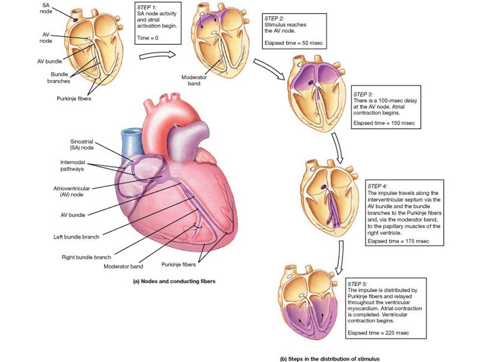 The Conduction System Of The Heart Ppt Video Online Download