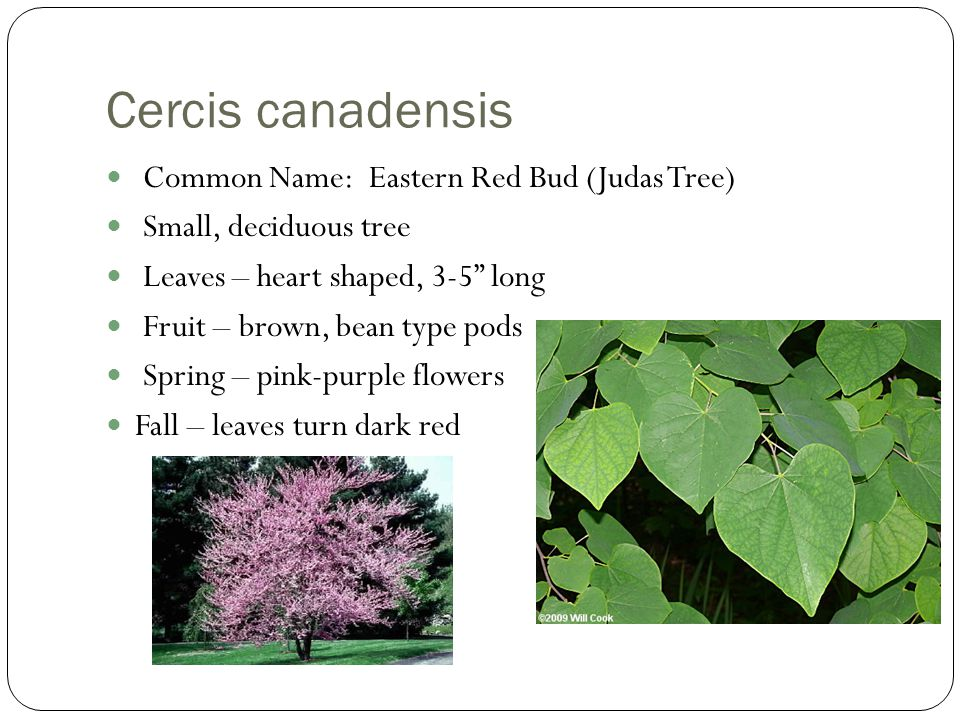 Plant identification trees i ppt video online download cercis canadensis common name eastern red bud judas tree mightylinksfo