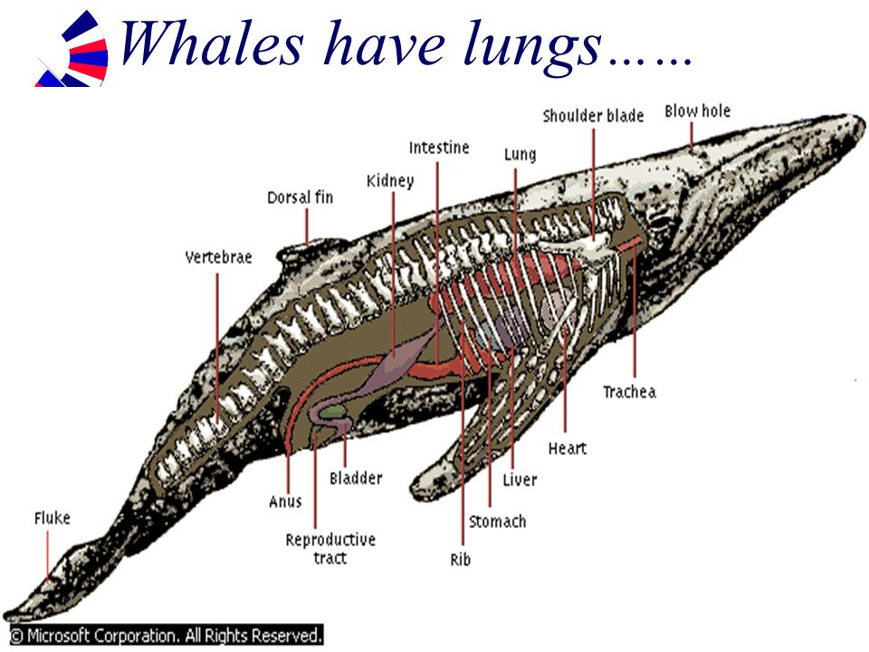 Whale Respiratory System Diagram Library Of Wiring Diagram