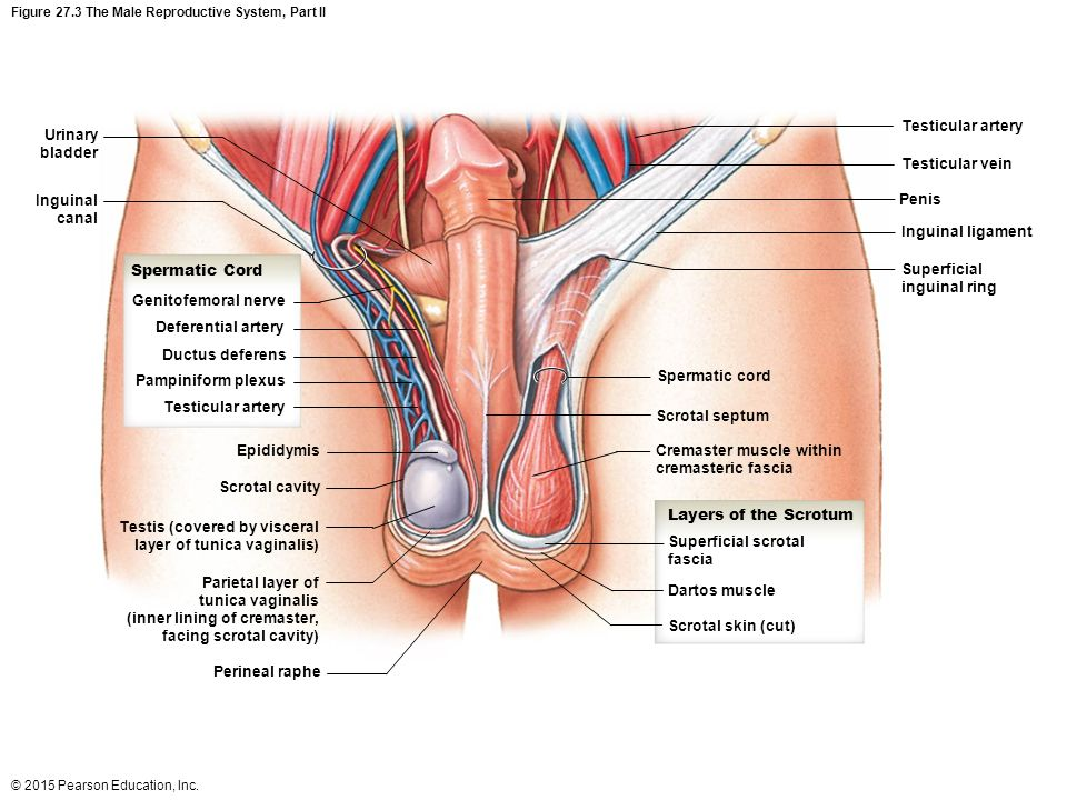 Male Genital Groin Diagram - Search For Wiring Diagrams •