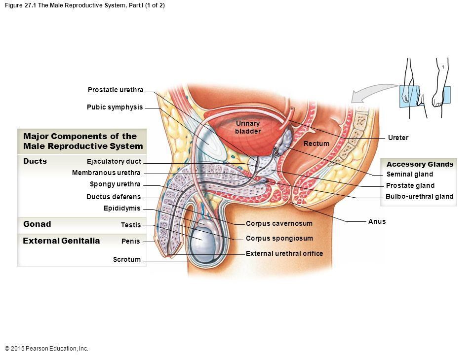 Male Reproductive System Diagram Pearson House Wiring Diagram