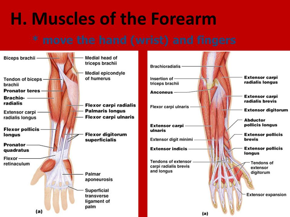 G. Muscles of the Arm * move the forearm (elbow). - ppt video online ...