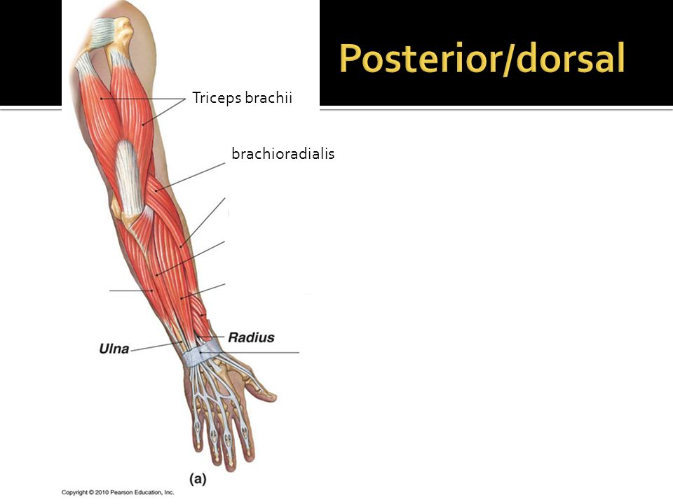Muscle of the Arm and Forearm dorsal/posterior - ppt video online ...