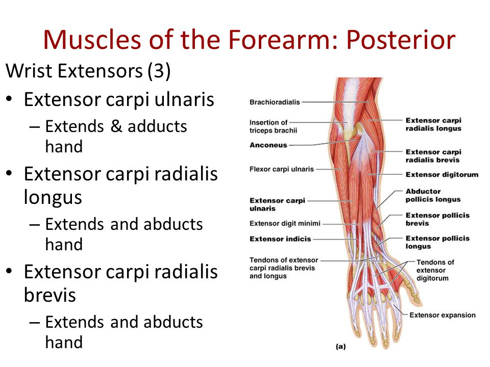 Muscles That Move The Forearm Hand Ppt Video Online Download