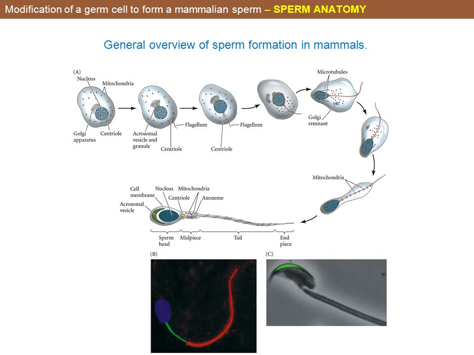 Anatomy Of Sperm Cell Images - human body anatomy