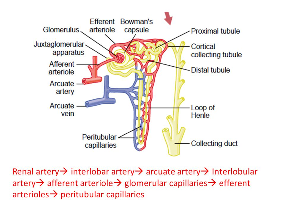 Glomerular filtration, Determinants of GFR and FF - ppt video online ...