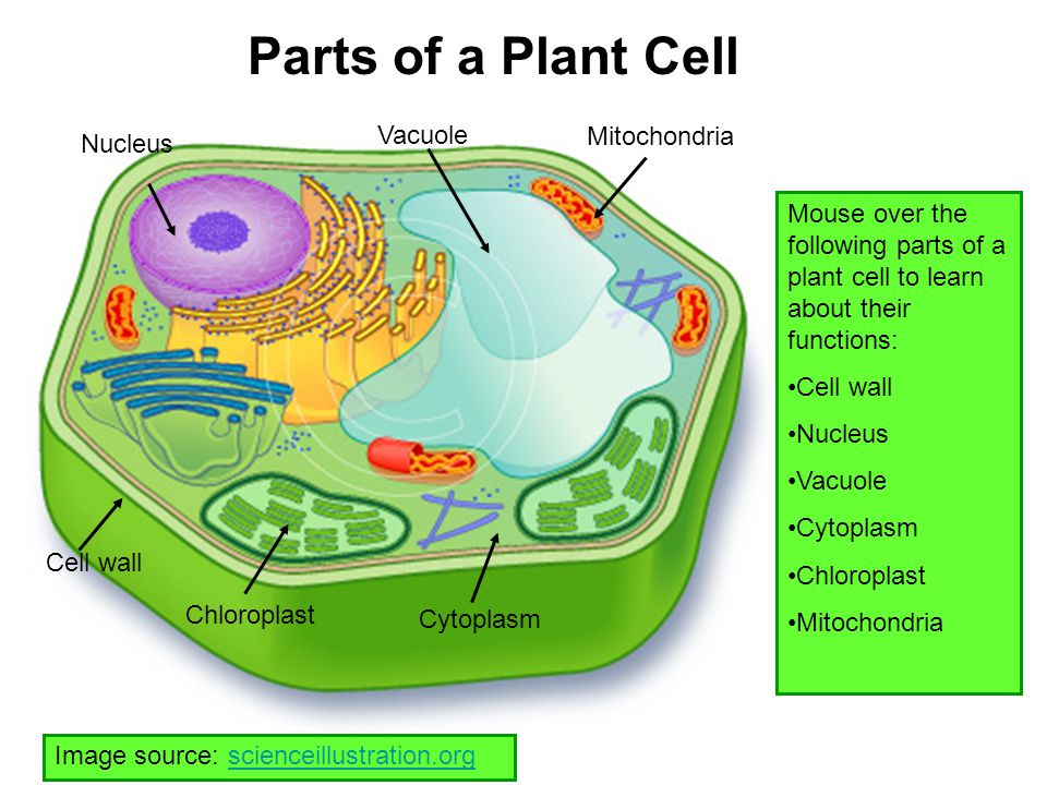 Parts of a Plant Cell Vacuole Mitochondria Nucleus