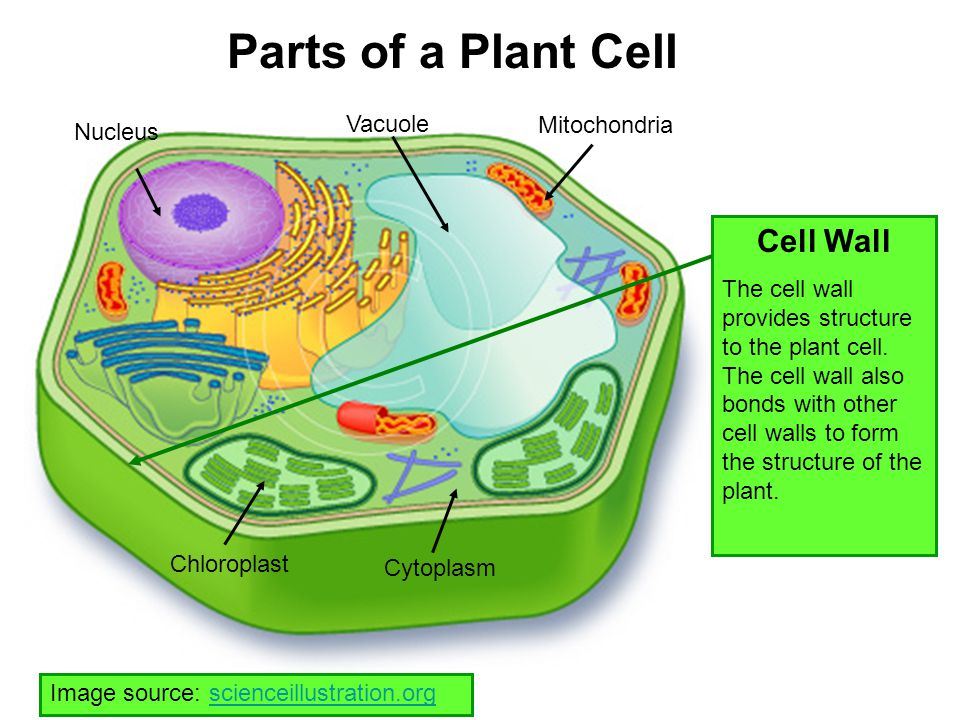 Parts of a Plant Cell Cell Wall Vacuole Mitochondria Nucleus