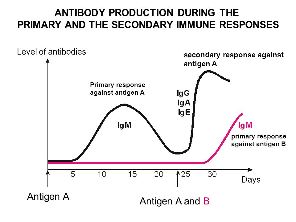 ANTIBODY PRODUCTION DURING THE