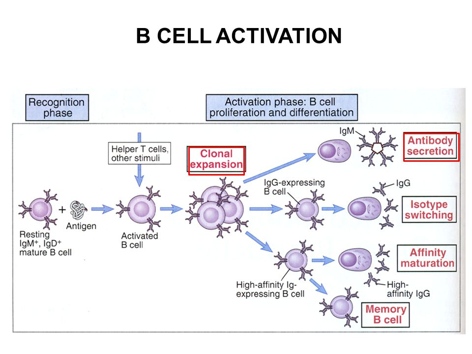 B CELL ACTIVATION