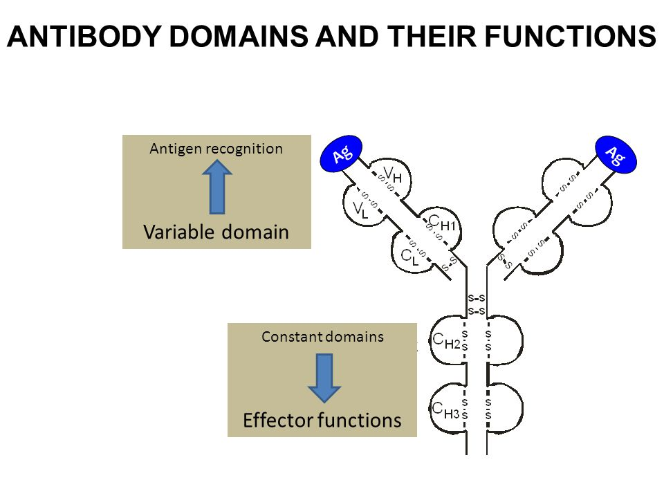 ANTIBODY DOMAINS AND THEIR FUNCTIONS