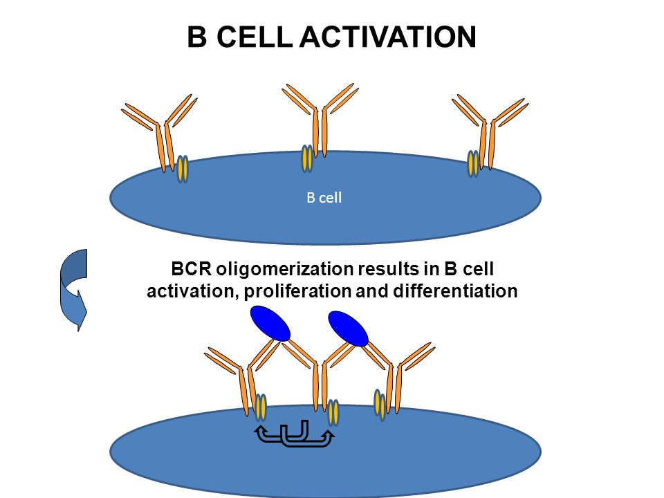 B CELL ACTIVATION B cell.