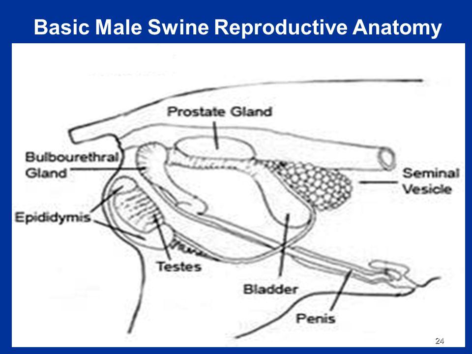 Pig Reproductive Anatomy Choice Image - human body anatomy