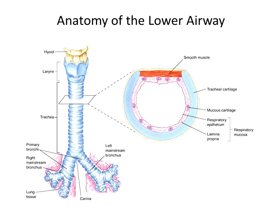 Airway, Airway – Who\'s got the Airway - ppt video online download